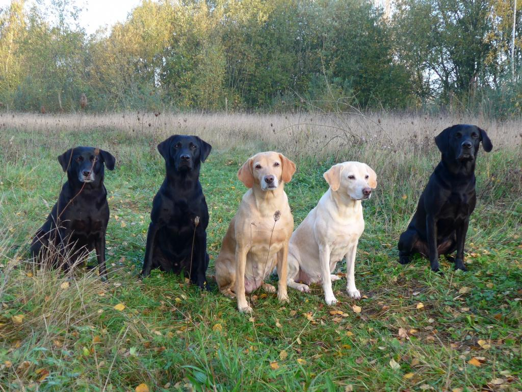 Late autumn picture. From the left it is Ravensbank Flo (Flo), next to her it is her son Ravensbank Bob (Bob), then comes Ravensbank Wagtail (Waggie) and Tidemark Ivy (Ivy). To the right it is Ravensbank Jock (Jock).©Ravensbank Labrador Retrievers