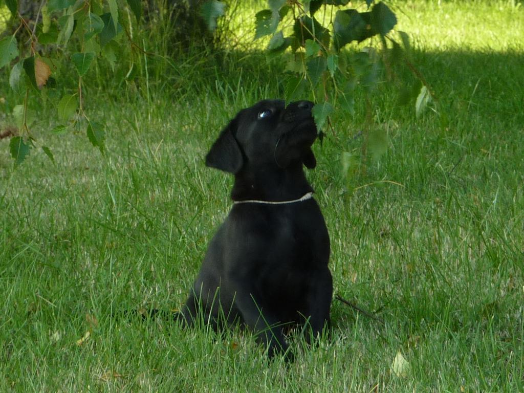 Ravensbank Sir Kay (Tino) bliver helt skeløjet af at undersøge et blad.©Ravensbank Labrador Retrievers