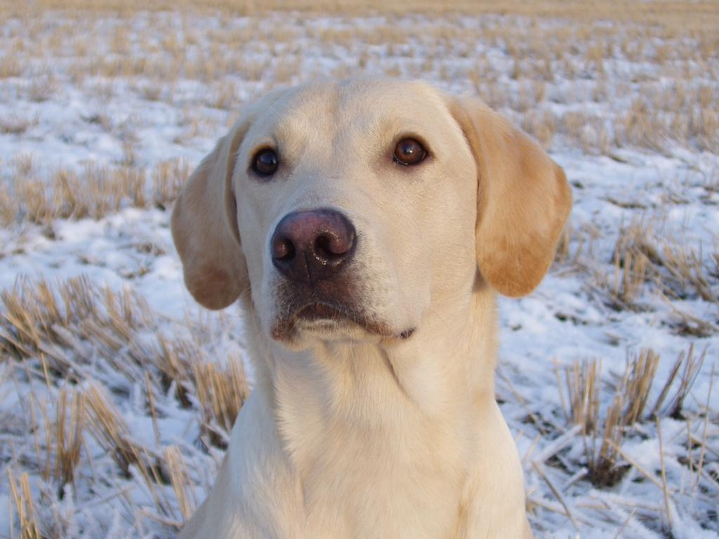 FI KVA, SE KVA Ravensbank Tip (Tipi) is almost 8 months old at this picture. He is concentrated and calm, and he loves to work. Exactly the kind of retriever that I want every Ravensbank dog to be. ©Susanna Särkijärvi Kennel Waterfowler