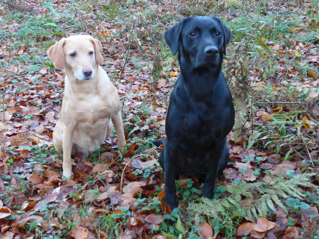 Ravensbank Wagtail (Waggie) and Ravensbank Bob (Bob) watching the birds. ©Ravensbank Labrador Retrievers