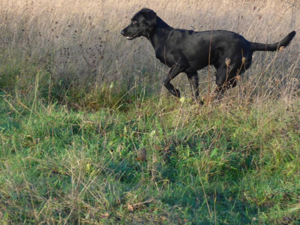 Ravensbank Biscuit (Bibi) photo taken on a sunny day in December 2014, where she is nine months old. ©Ravensbank Labrador Retrievers
