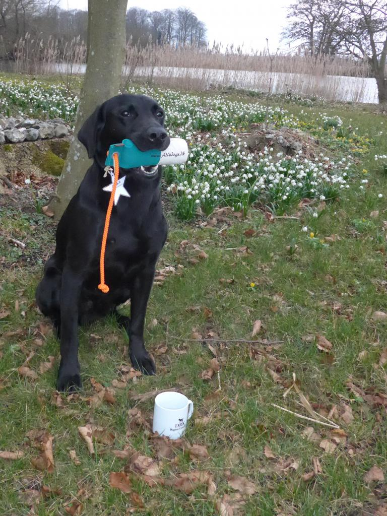 Ravensbank Bob (Bob) becomes 2nd Winner in intermediate class at unofficial Working Test on 14-03-2015. The dummy won is from All4dogs.dk ©Ravensbank Labrador Retrievers