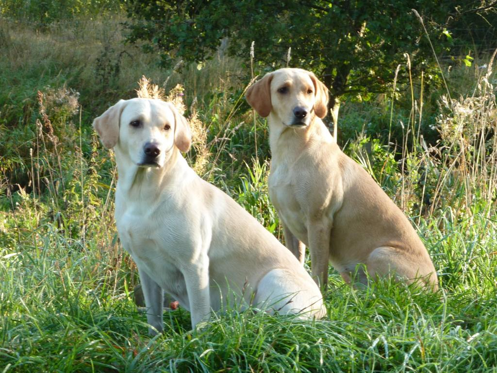 This is Tidemark Ivy (Ivy) in the front and her daughter Ravensbank Wagtail (Waggie) behind her. The picture is taken in September 2009. Waggie has just reached three years and Ivy is almost six.©Ravensbank Labrador Retrievers