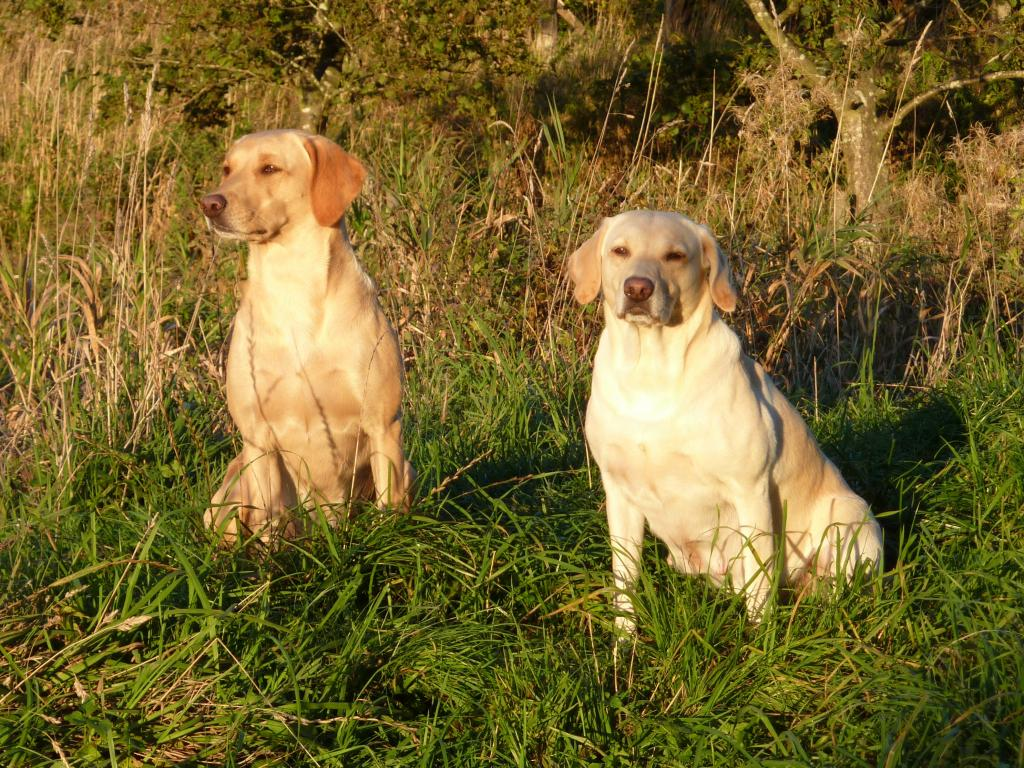 14.10.2009: To the left is Ravensbank Wagtail (Waggie) and to the right it is Tidemark Ivy (Ivy), who is now clearly with puppies. ©Ravensbank Labrador Retrievers