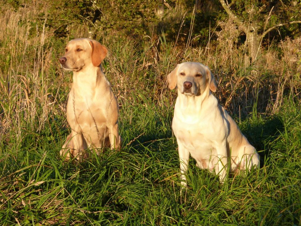 14.10.2009: Til venstre er det Ravensbank Wagtail (Waggie) og til højre er det Tidemark Ivy (Ivy), der nu er tydelig drægtig.©Ravensbank Labrador Retrievers