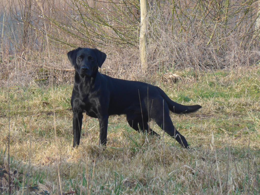 Ravensbank Bob (Bob) caught in a star moment.Bob er 2 years and 7 months på dette billede. ©Ravensbank Labrador Retrievers