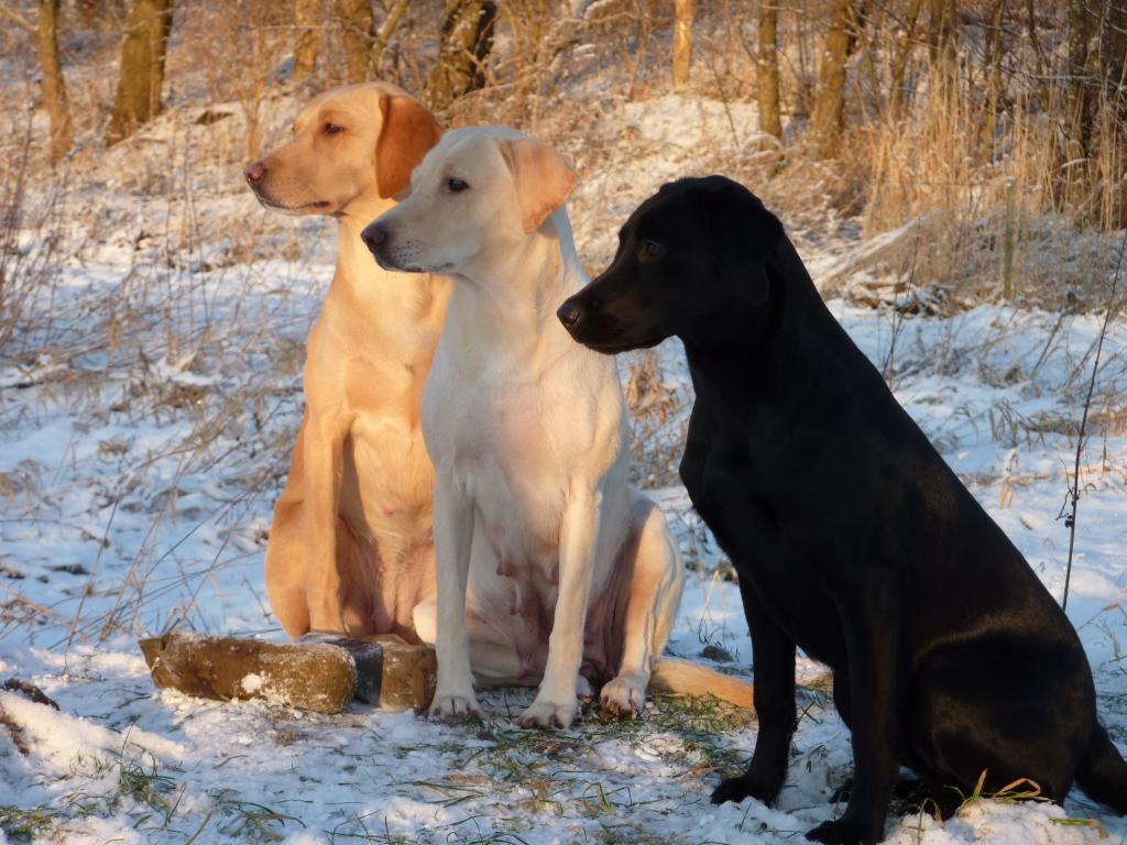 Tre generationer repræsenteret i eet billede. I midten er det Tidemark Ivy (Ivy). I baggrunden er det Ivy's datter, Ravensbank Wagtail (Waggie). Forrest er det Waggie's datter, Ravensbank Queen Guinevere (Genie). Billedet er taget i januar 2010 hvor Genie er 8 måneder gammel, Waggie er 3½ år og Ivy er 6 år gammel.©Ravensbank Labrador Retrievers