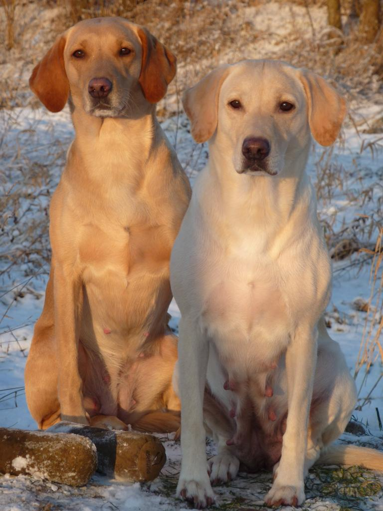 Tidemark Ivy (Ivy) and Ravensbank Wagtail (Waggie). The picture is taken in January 2010. It is on the very day where Ivy's puppies leave for their new homes.©Ravensbank Labrador Retrievers