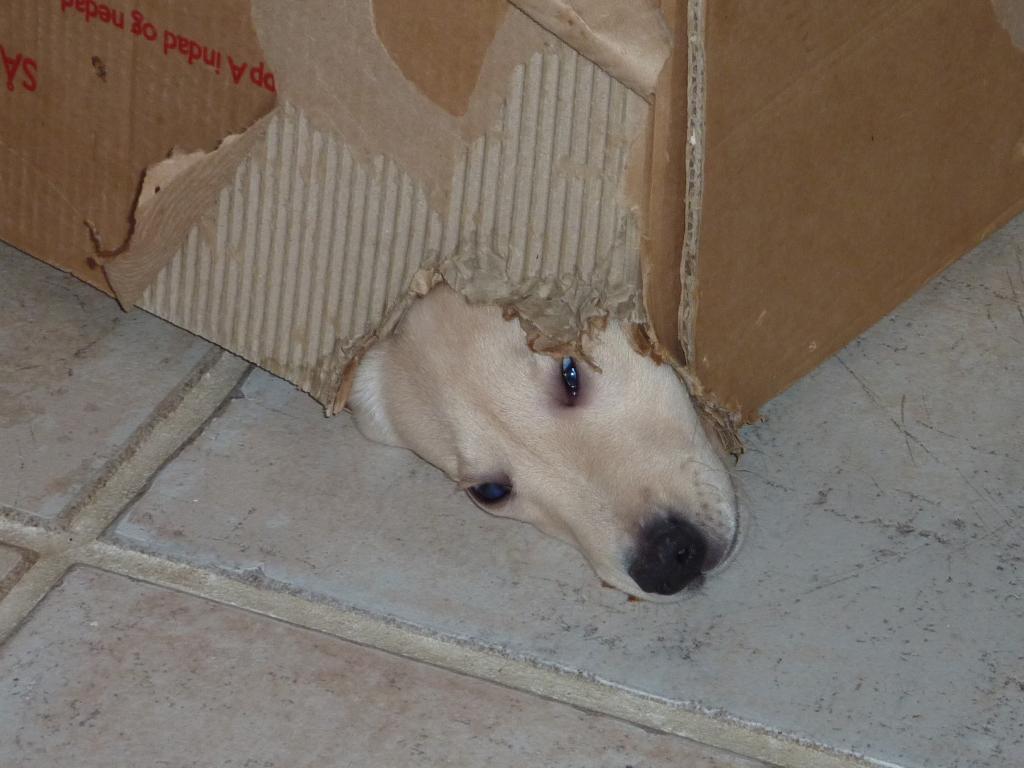 Ravensbank Tide (Sille) har fået en flyttekasse som legetøj, og hun har straks konverteret den til en muserede :-) ©Ravensbank Labrador Retrievers