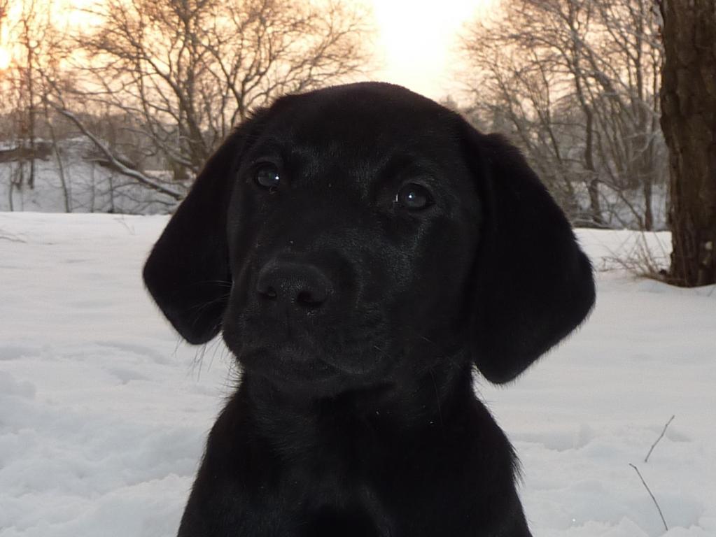 Det første billede jeg har taget af Ravensbank Jock (Jock). Han er 10 uger gammel.©Ravensbank Labrador Retrievers