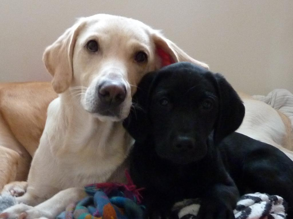 Tidemark Ivy (Ivy) with her dog puppy Ravensbank Jock (Jock) 11 weeks old. ©Ravensbank Labrador Retrievers