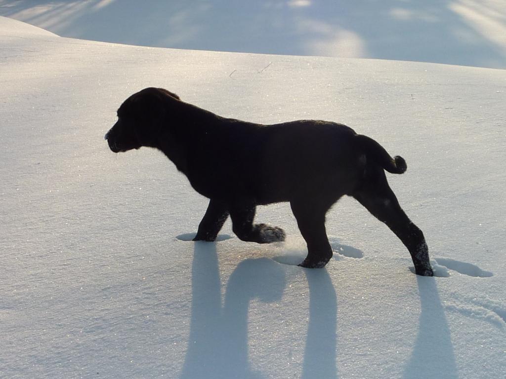 Med det kolde vejr vi har haft i januar 2010, er Ravensbank Jock (Jock) helt fortrolig med sneen.©Ravensbank Labrador Retrievers