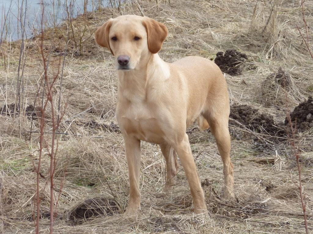 Picture of Ravensbank Wagtail (Waggie) from the unofficial cold game test at Højstrup on 13 March 2010. Waggie is 3½ years old. ©Ravensbank Labrador Retrievers