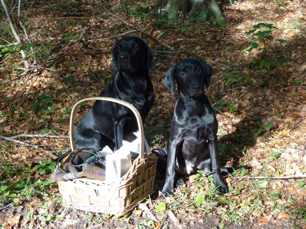 Fra en dejlig svampetur med Ravensbank Jock (Jock) (t.v.) og Ravensbank Observer (James) sent i september 2011. Her er de to unghunde på hhv. 21 og 4 måneder fanget i en lysning i skoven.©Ravensbank Labrador Retrievers
