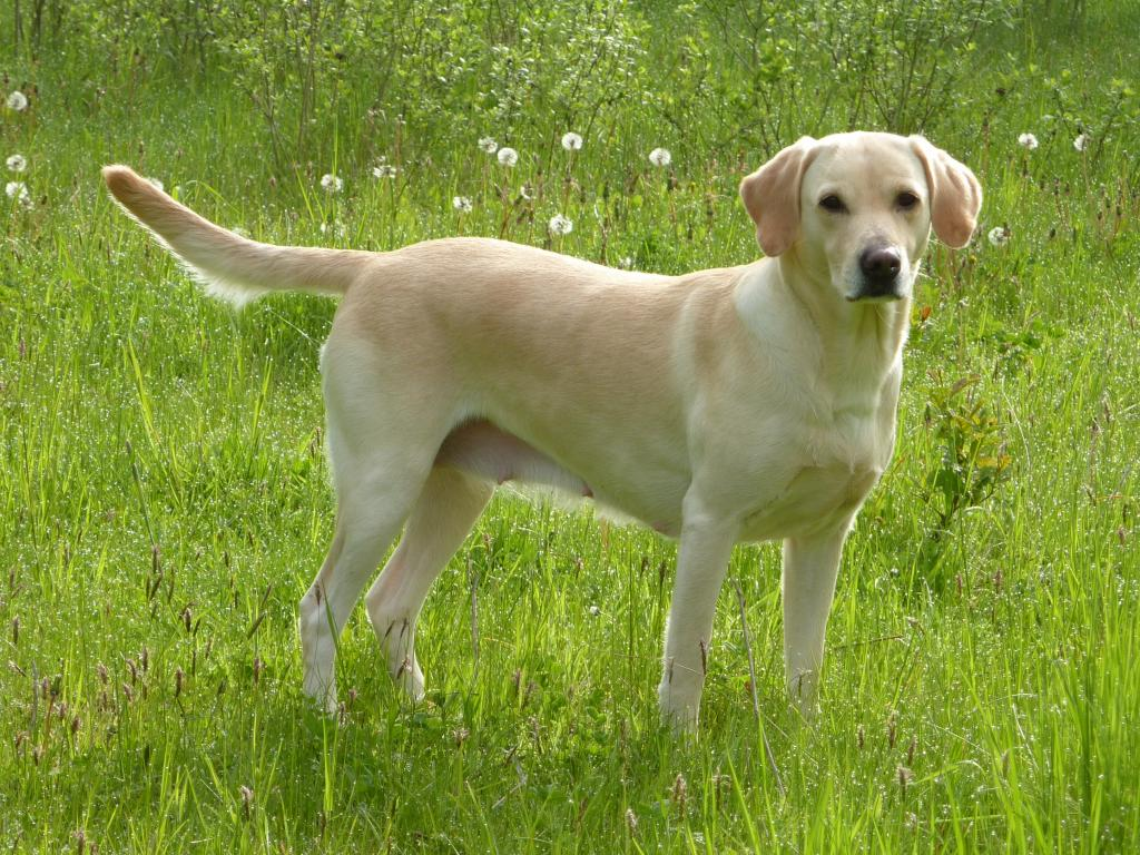 Tidemark Ivy (Ivy), 6½ years old and indeed still going strong.©Ravensbank Labrador Retrievers