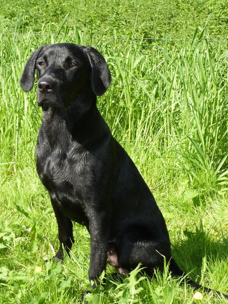Man begynder at kunne skimte en stærk unghund i billedet af Ravensbank Jock (Jock) her fotograferet kort tid før han bliver 7 måneder gammel.©Ravensbank Labrador Retrievers