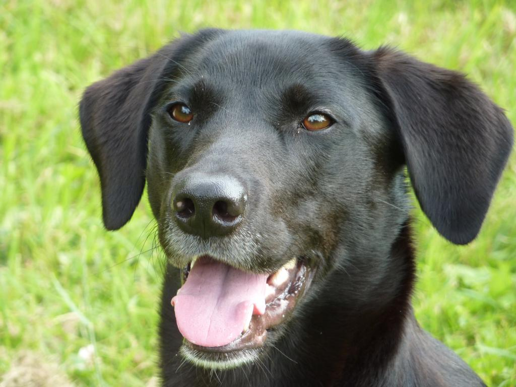 Ravensbank Flo (Flo) shortly after her two years birthday. ©Ravensbank Labrador Retrievers