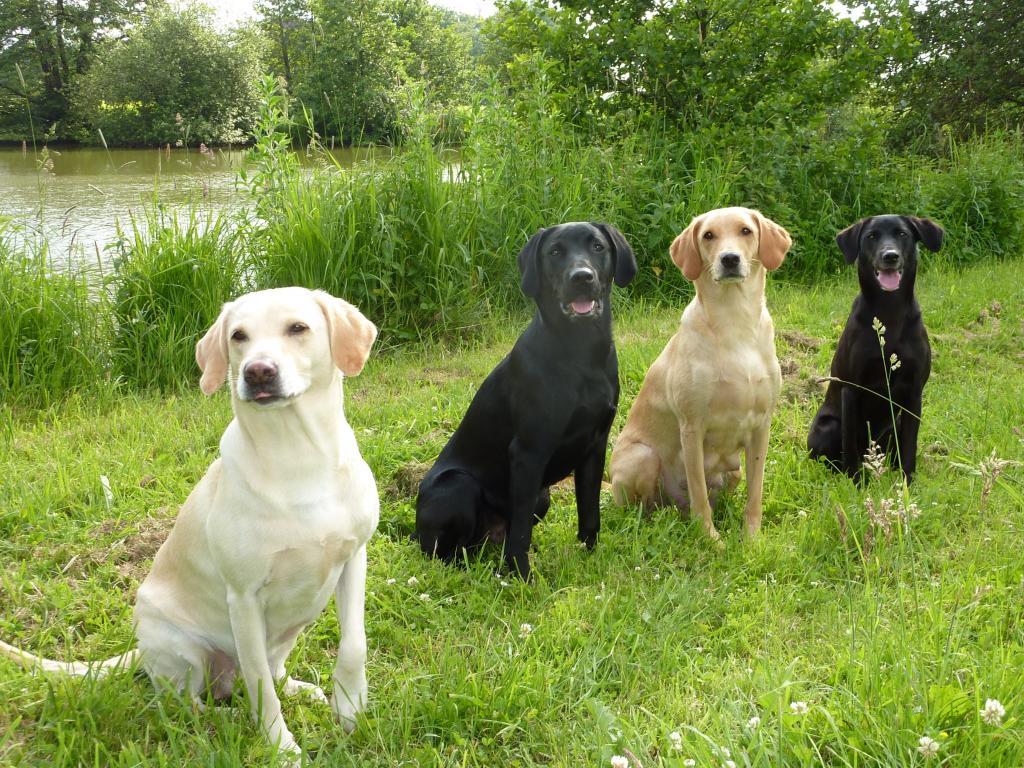 Vores hunde i juni 2010 - fra venstre er det Tidemark Ivy (Ivy), Ravensbank Jock (Jock), Ravensbank Wagtail (Waggie) og yderst til højre er det Ravensbank Flo (Flo)©Ravensbank Labrador Retrievers