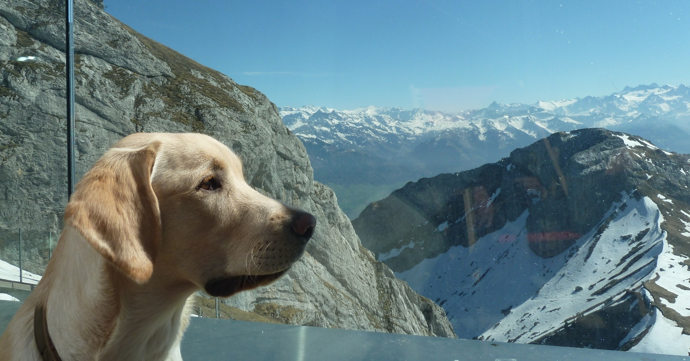 LP1, LP2 Ravensbank Tarzan (Buddy) Easter 2014 visiting Switzerland. He is six months old on the picture©Jan Kublitz