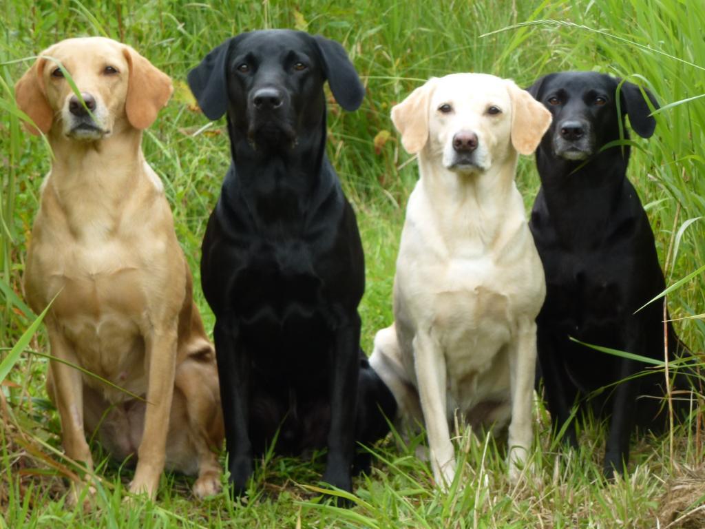 Min hundeflok juni 2012. Fra venstre er det Ravensbank Wagtail (Waggie) på knap 6 år, Ravensbank Jock (Jock) på 9 år og 9 måneder, mor til de andre tre på billedet, Tidemark Ivy (Ivy) på 8½ år, og yderst til højre er det Ravensbank Flo (Flo) på 4 år.©Ravensbank Labrador Retrievers