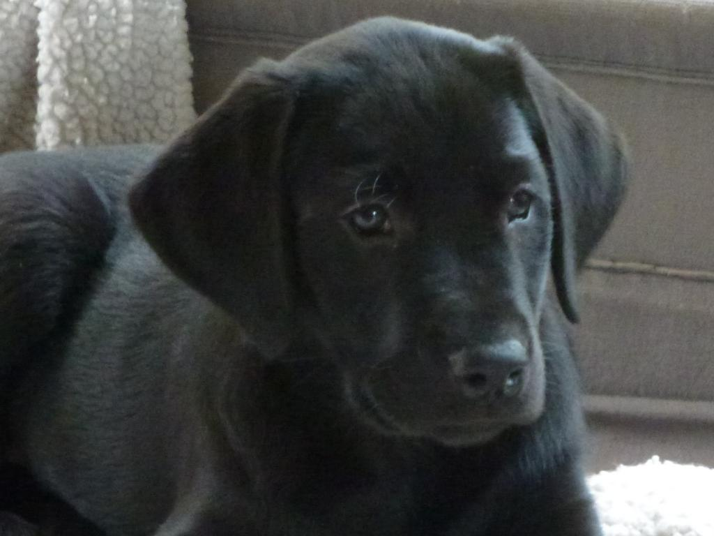Ravensbank Bob (Bob) nine weeks old.  ©Ravensbank Labrador Retrievers