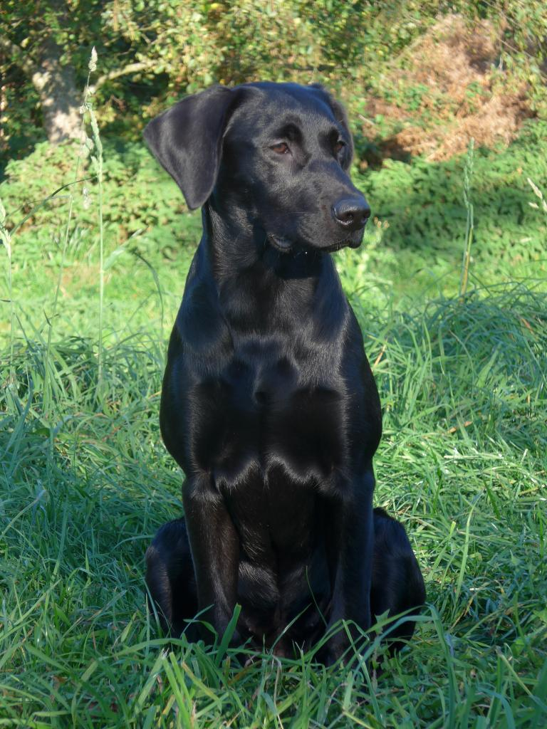 Squareclose Wendy (Nessie) a good six months old. ©Ravensbank Labrador Retrievers