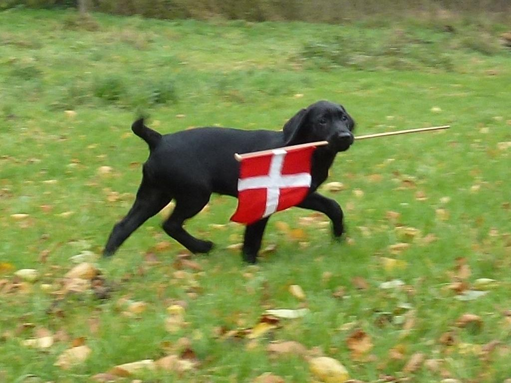 Ravensbank Bob (Bob), 12 weeks old waves the Danish flag to his friends. ©Ravensbank Labrador Retrievers