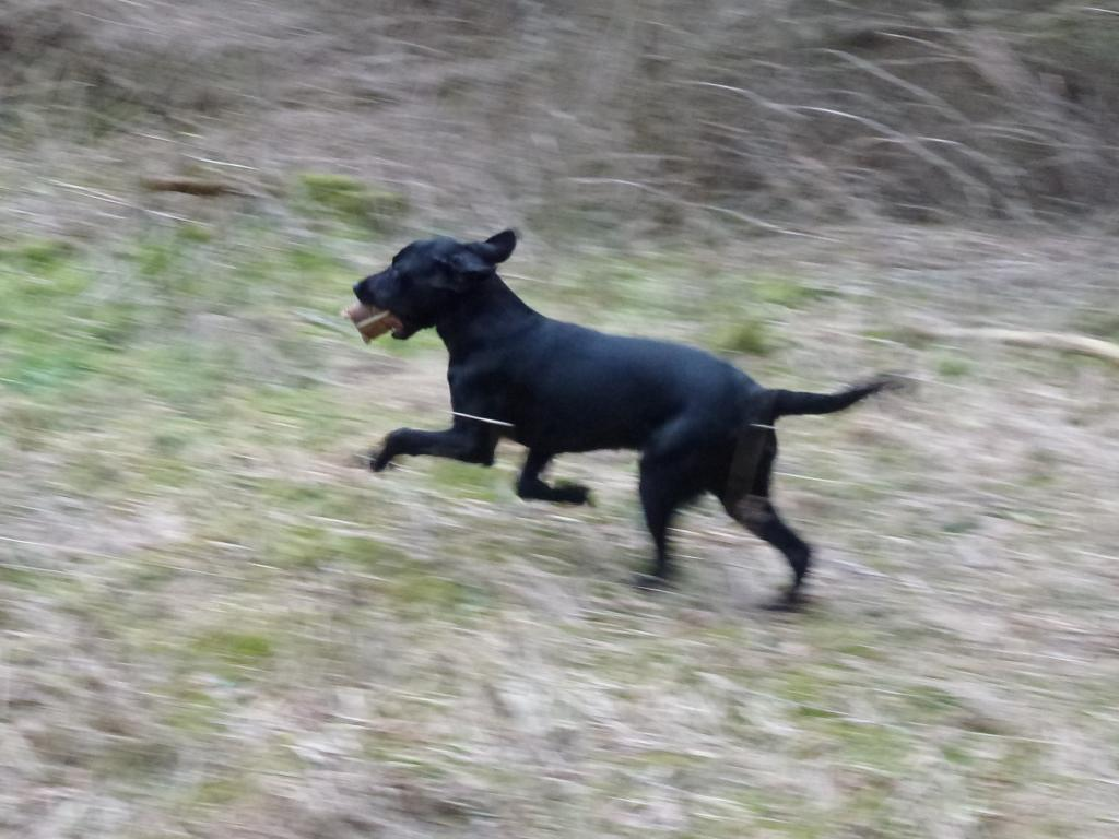 Ravensbank Bob (Bob) full speed six months old. ©Ravensbank Labrador Retrievers