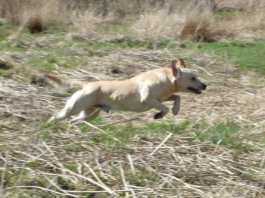 FI KVA, SE KVA Ravensbank Tip (Tipi)©Ravensbank Labrador Retrievers