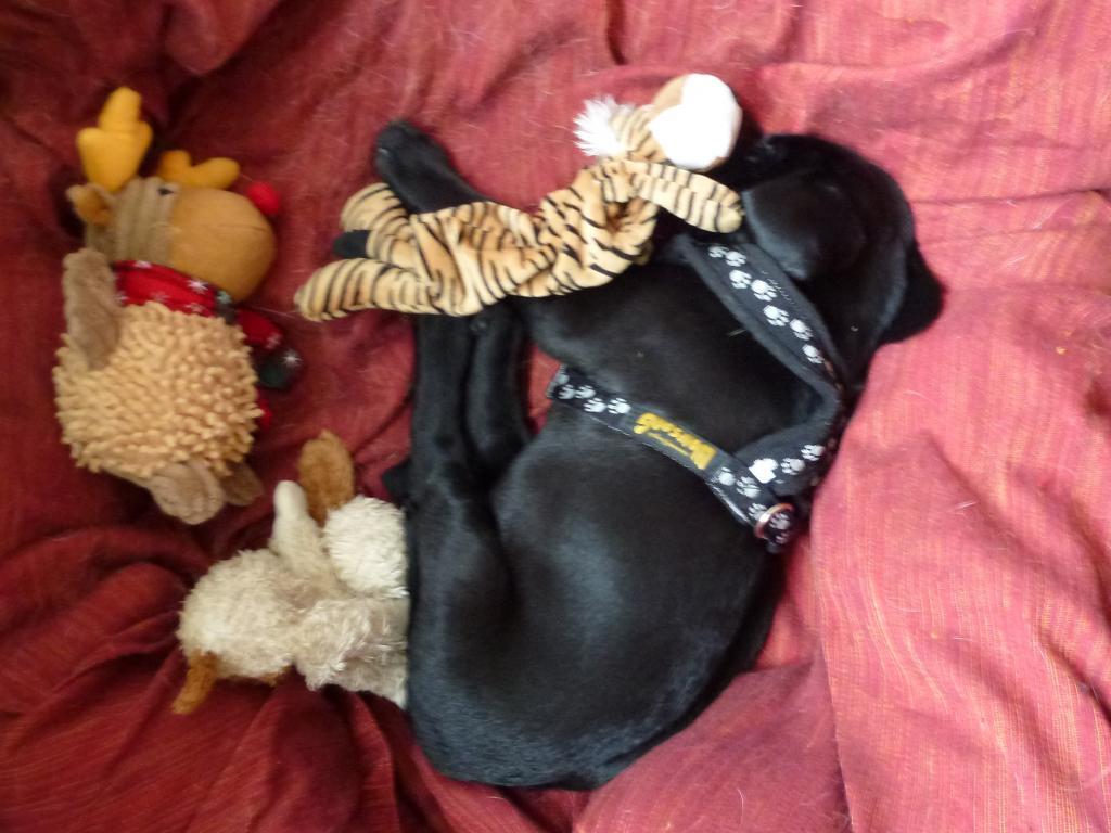 Ravensbank Phoenix (Phoenix) sover med hovedet godt puttet ind under tigerdyret. Andre medvirkende i indslaget er Rudolf med den røde tud og Flo's elskede tøjand Futte.©Ravensbank Labrador Retrievers