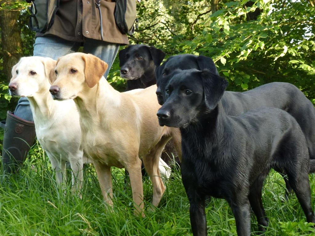 Training with Annelise in July 2013. From the left it is Tidemark Ivy (Ivy), Ravensbank Wagtail (Waggie), Ravensbank Flo (Flo). To the right it is Ravensbank Bob (Bob) and just behind him is Ravensbank Jock (Jock). ©Ida-Marie Skov