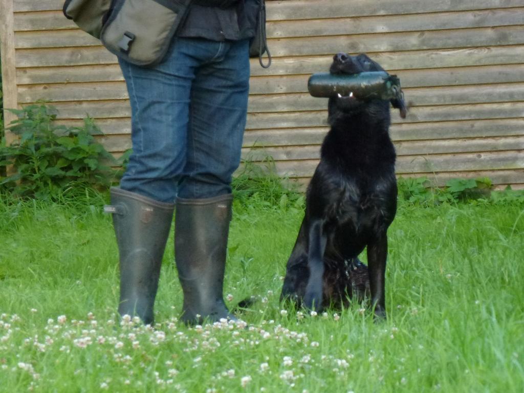 Ravensbank Bob (Bob) waits for me to take the dummy before he can shake off the water.©Ida-Marie Skov