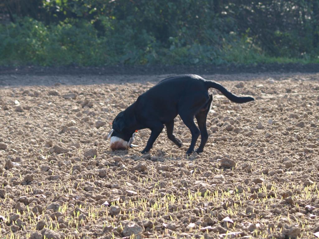 Ravensbank Jock (Jock) fra A/C-prøven d. 2. oktober 2011.©Marie Koefoed-Toft