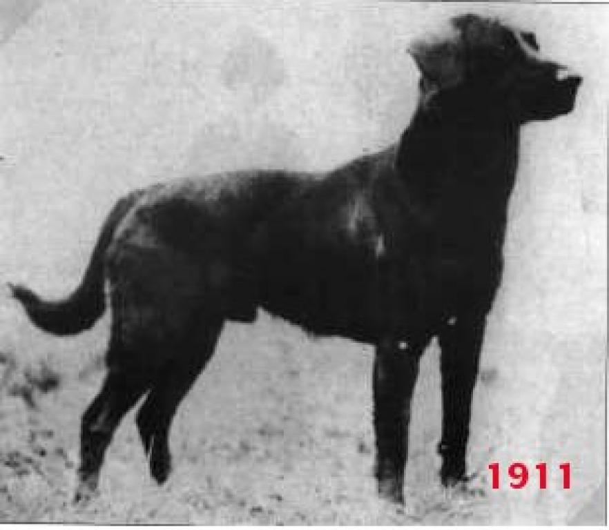 FC Peter of Faskally fotograferet i 1911 ©Ravensbank Labrador Retrievers