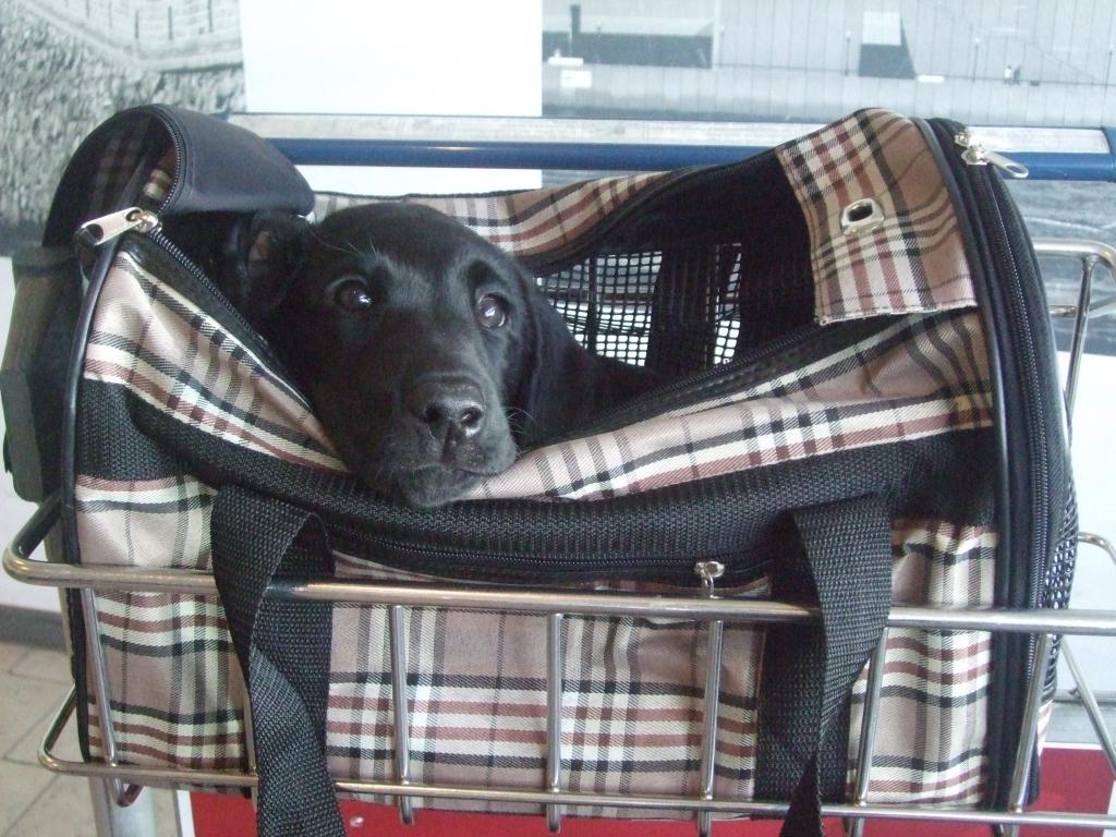 En lille hund rejser hjemmefra. Her er det FRFTCH Ravensbank Sir Lancelot (Lance) som er fotograferet i Kastrup Lufthavn mens han ventede på at komme afsted med flyet til Frankrig. En tur som Lance klarede uden nogen form for problemer. ©Anne Besnard