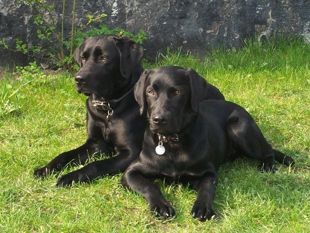 Lochiness Jameson in the background and his son Lucky Labrador's Lucky.  ©Ravensbank Labrador Retrievers