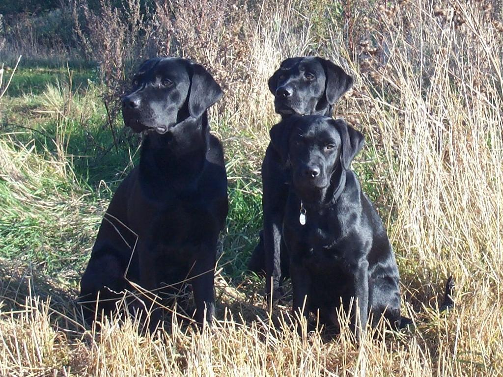 Lochiness Jameson in the background, his son Lucky Labrador's Lucky  (left) and daughter Lucky Labrador's Chaka Khan (right). ©Ravensbank Labrador Retrievers