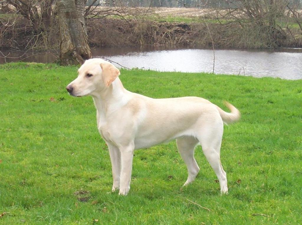 This is Tidemark Ivy (Ivy) at the age of 14 months. The photo is taken in February 2005.©Ravensbank Labrador Retrievers
