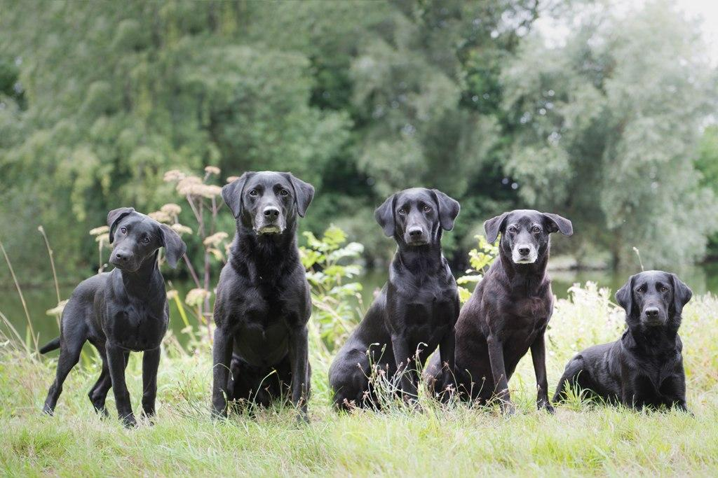 All our dogs in August 2018. From right to left it is, Ravensbank Holly (Holly), Ravensbank Flo (Flo), Ravensbank Biscuit (Bibi), Ravensbank Bob (Bob) and leftmost it is Squareclose Wendy (Nessie).©Susanne Amnitzbøll, Sannes Hundecenter