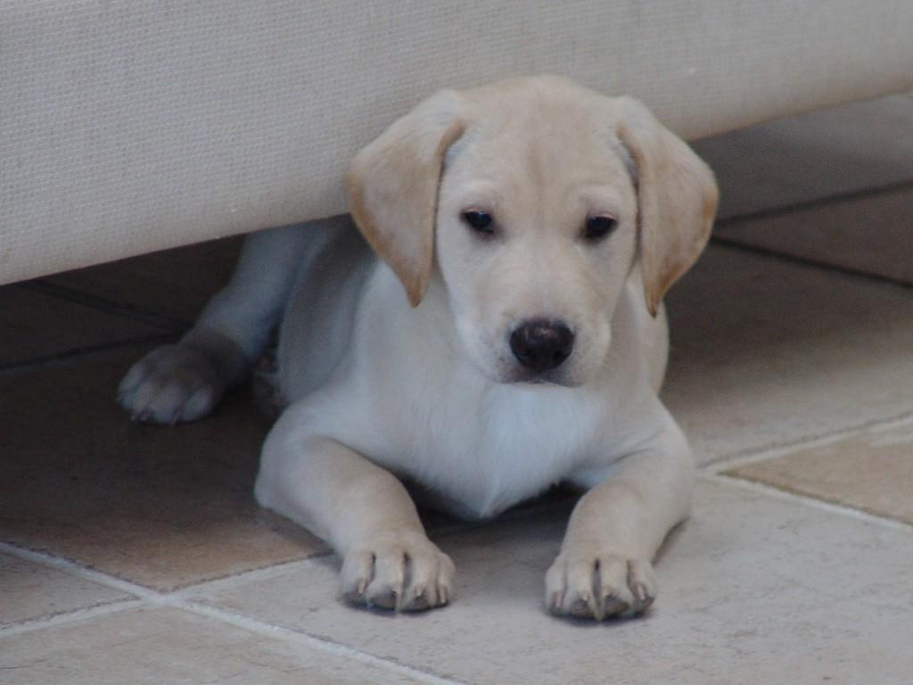 Ravensbank Robin (Robin)under the sofa, clearly up to something. In the picture, he is eight weeks old. ©Ravensbank Labrador Retrievers