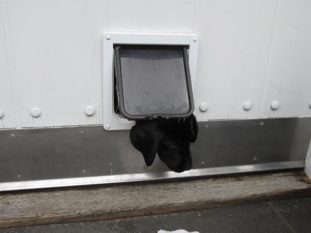 Halløj Felix. Vent på mig! Ravensbank Rocky Racoon (Rocky) er godt ni uger og stadig så lille at han kan klemme sig ud gennem kattelemmen.©Elisabeth Vad