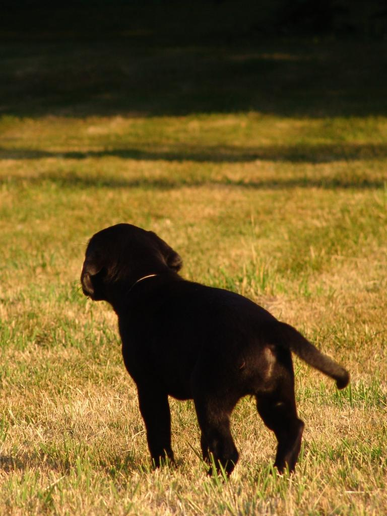 () literally on her way out into the world as an eight week old puppy.©Ravensbank Labrador Retrievers