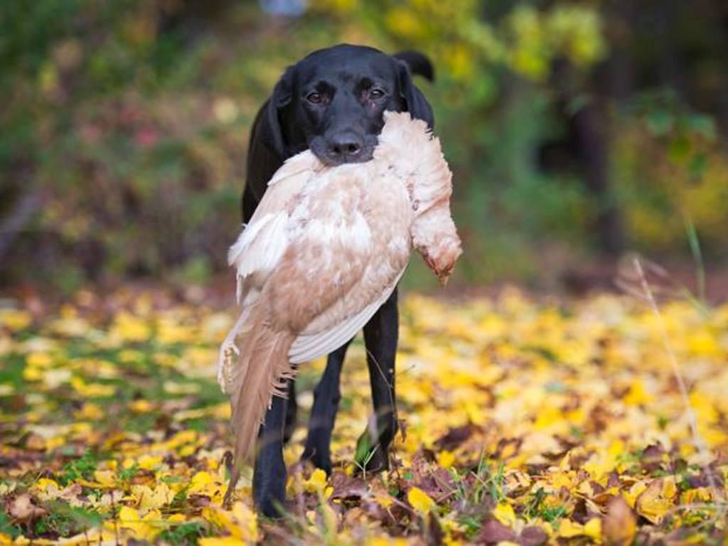 Ravensbank Donna (Bibs) har apporteret en sjælden hvid fasan.©Sanne Amnitsbøll, Sannes Hundecenter