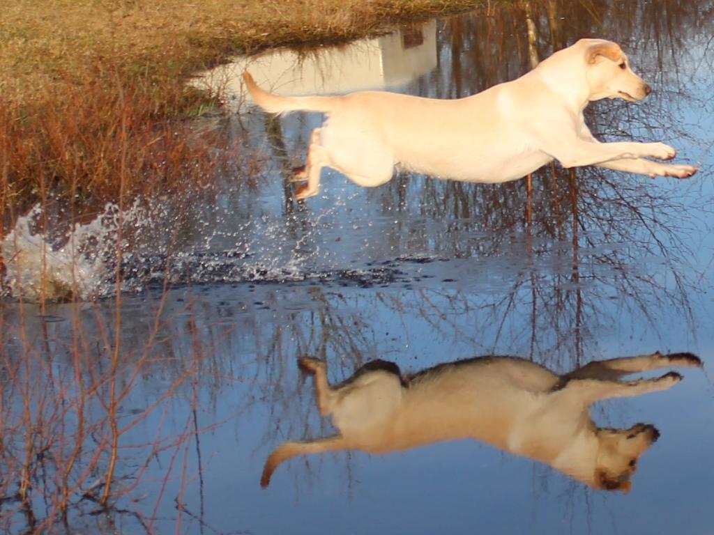 Ravensbank Tide (Sille) træner i februar 2011, hvor hun er godt to år gammel.©Mejdal Hundepension