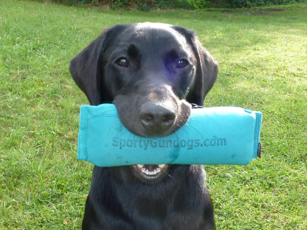 Ravensbank Bob (Bob) with prize-dummy awarded to him as 2WT novice class on 7 September 2013. ©Ravensbank Labrador Retrievers