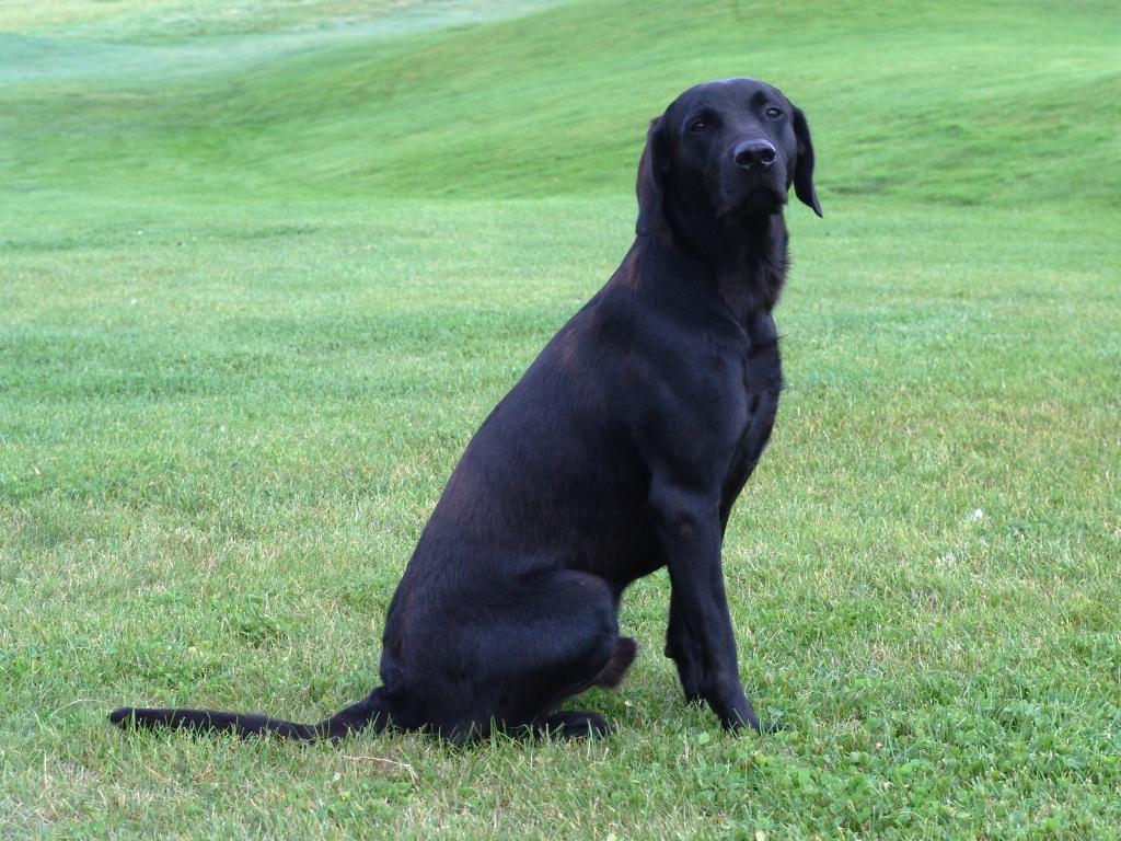 En anden dejlig hund fra Ivy's første kuld. Det er DKBRCH DKJCH NOJCH SEJCH NORDJCH 2EV2010 3UM2008 Ravensbank Swift (Swiffer) som føres af Gert Müller.©Ravensbank Labrador Retrievers