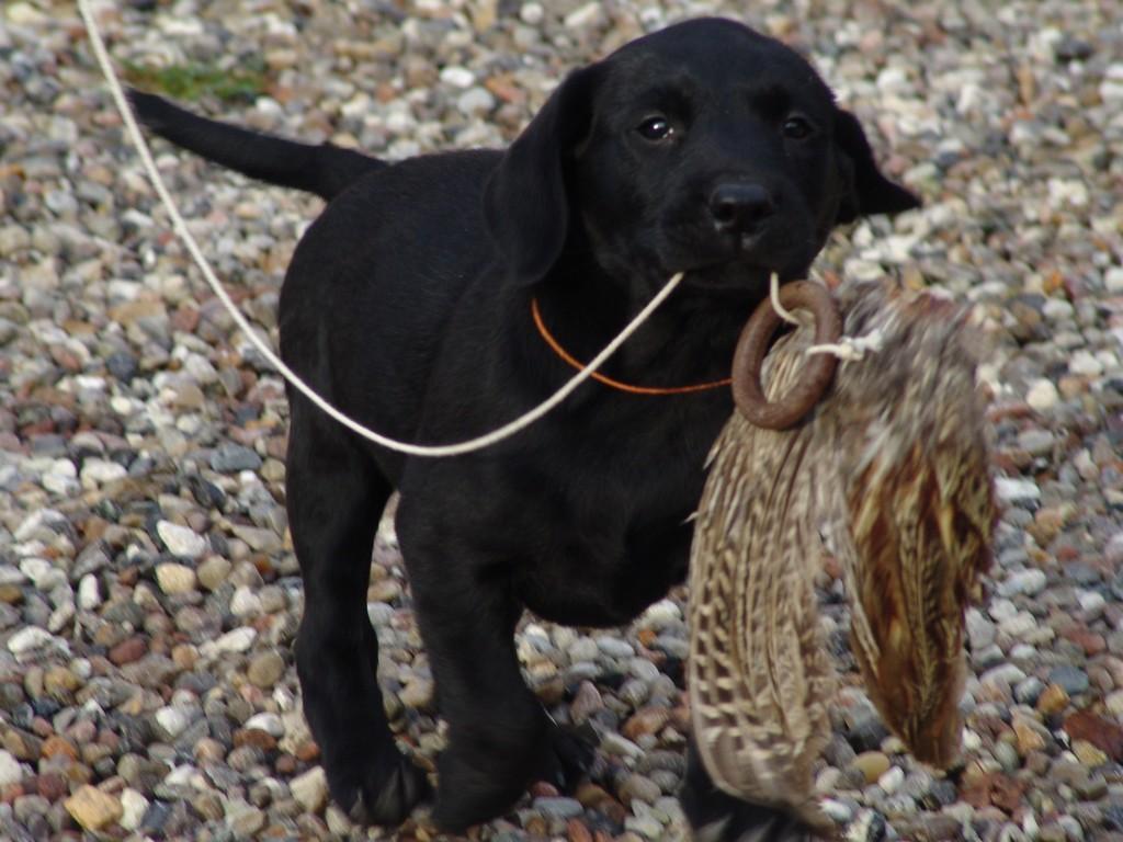 DKBRCH DKJCH NOJCH SEJCH NORDJCH 2EV2010 3UM2008 Ravensbank Swift (Swiffer) i en alder af 7 uger.©Ravensbank Labrador Retrievers