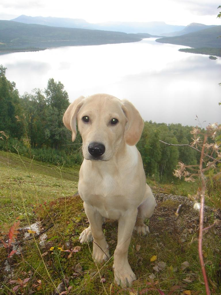 This is Ravensbank Tip during a trip to stunning Lapland. He is 14 weeks old. ©Mervi Salo