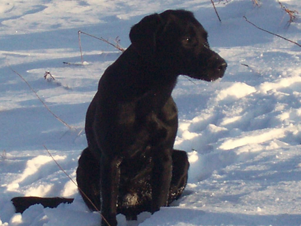 Ravensbank Sir Kay (Tino) er her godt 8 måneder gammel.©Ravensbank Labrador Retrievers