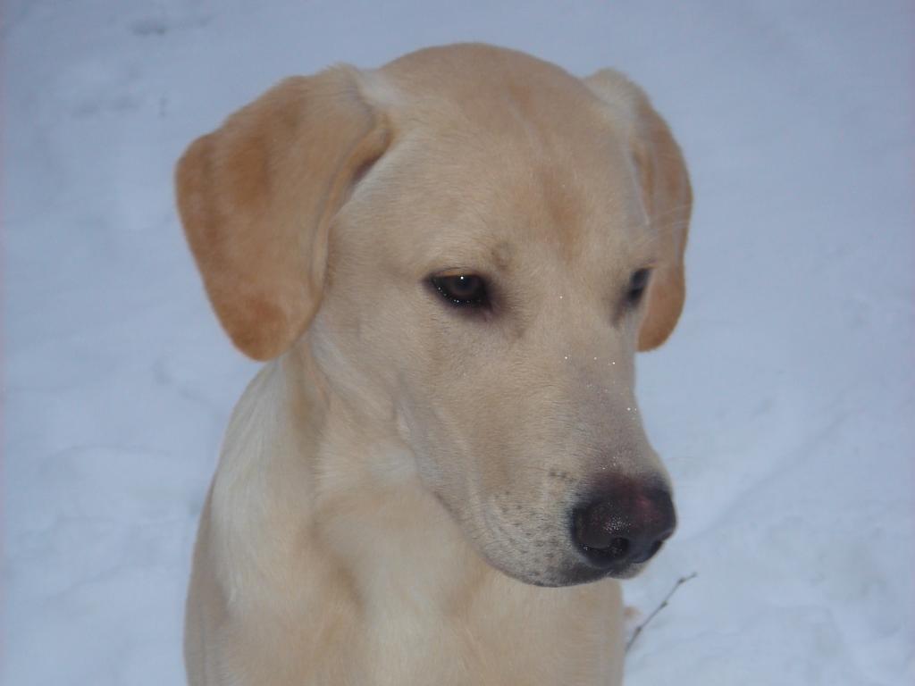 FI KVA, SE KVA Ravensbank Tip (Tipi) fotograferet i november 2008, hvor han er 6 måneder gammel og vejer 23 kg.©Ravensbank Labrador Retrievers
